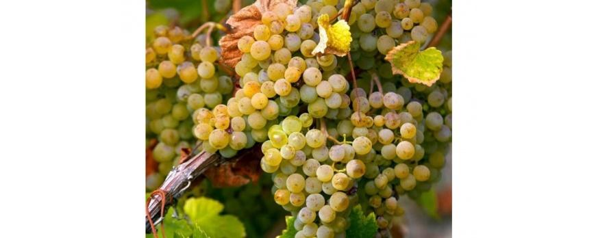 Conosciamo l'uva Catarratto
