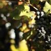 Il Nero di Troia: scopri il vino